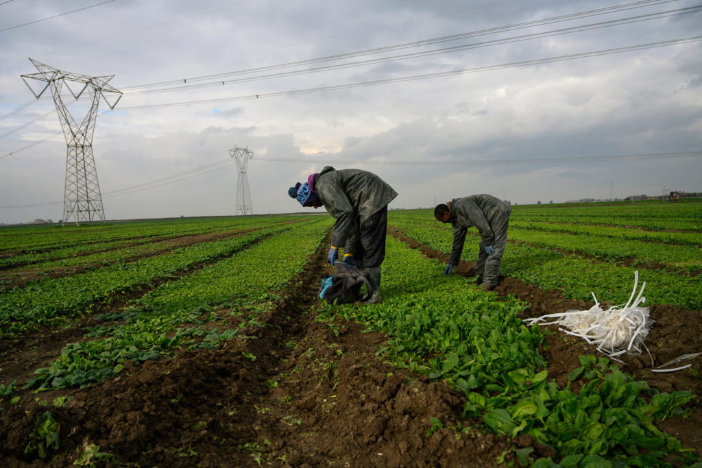 """African day labourers who are part of the """"caporalalto""""  system of cheap, daily labor with no benefits and no security and less than minimum wages, work the fields around Foggia, in Puglia, in Southern Italy, December 4, 2018.  Tens of thousands of these migrant workers whose cheap labor has made Italy one of the most important exporters of tomatoes and other agricultural products.   A 2018 report[9] commissioned by Italy's trade unions estimates that some 132,000 workers—mostly migrants from sub-Saharan Africa and Eastern Europe—suffer from the most exploitative aspects of caporalato, including non-payment of wages and abuse.  (Credit: Lynsey Addario for Time Magazine)"""